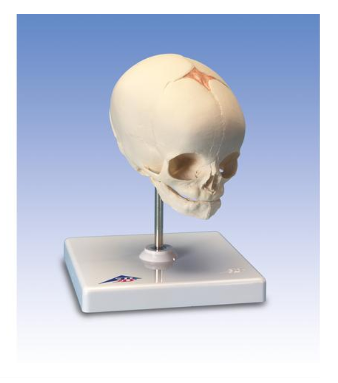 Foetal Skull Model, natural cast, 30th week of pregnancy, on stand