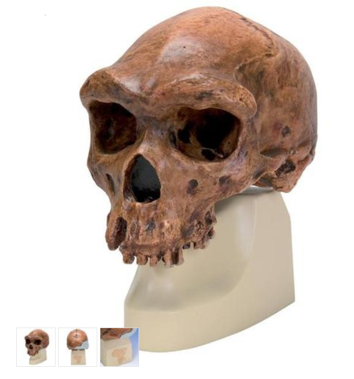 Anthropological Skull Model - Broken Hill or Kabwe