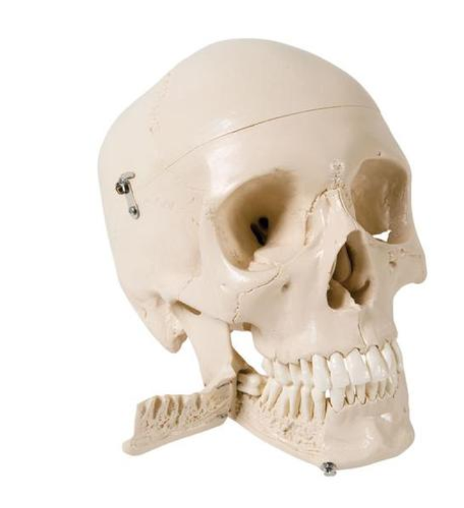 Skull Model with Teeth for Extraction, 4 part